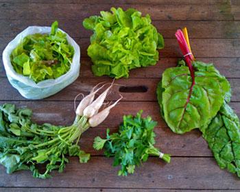 Salatmischung, Salatkopf, Mangold, Rettich und Petersilie