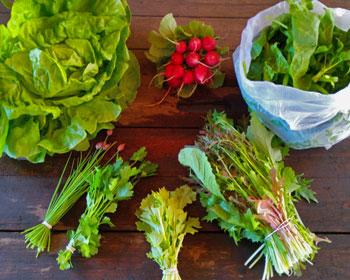 Salatkopf, Radieschen, Spinat, Schnittlauch, Petersilie, Rübstiel und Asiasalat-Mix