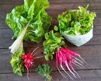 Mangold, Rettich, Radieschen, Salatmischung und Tymian