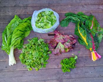Mangold, Rucola, Salatkopf, Salatmischung und Petersilie