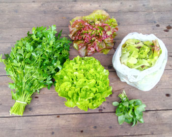 Petersilie, Salatköpfe, Salatmischung und Basilikum
