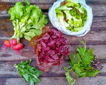 Ringelbeete, Salatkopf, Salatmischung, Asiasalat-Mix und Basilikum