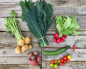 Herbstrüben, Palmkohl, Ringelbeete, Gurke, Tomaten, Radieschen und Chili