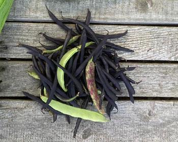 Bohnenmix aus Purple Teepee und Sanguigno 2